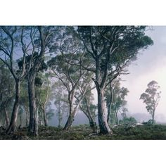 Wall Mural Forest GumTrees