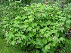 tuoksuvatukka - Rudus odoratus