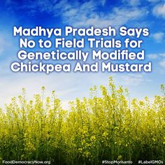 Madhya Pradesh has denied permission for field trials in genetically modified chickpea and transgenic mustard hybrid, arguing that there is no credible and irrefutable evidence about GM crops not having adverse impact on humans/animals, biodiversity and environment. Read more: http://www.fooddemocracynow.org/blog/2014/nov/19 #GMOs #LabelGMOs #StopMonsanto