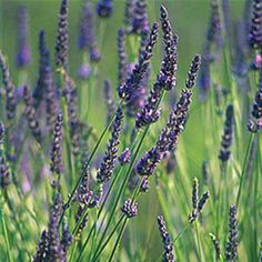 Plant lavendar near roses, alliums and fruit trees to discourage fleas and moths while drawing beneficial insects, such as bees, ladybugs, and praying mantises. | Photo: David Sieren/Getty Images | thisoldhouse.com