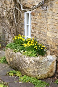 Daffodils in an ancient trough