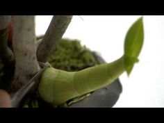 """Excellent video about """"in vitro"""" cultivation of orchids, the idiom isn't a problem, just look the images!!!"""