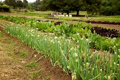 Flowering green onion shoots at Stone Farms