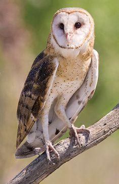 Barn Owl 0183 jpg