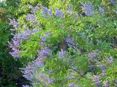 Chaste tree (Vitex agnus-castus).  Vitex  Native to southern Europe and central Asia, chaste tree quickly grows into a multi-trunked tree about 10 to 20 feet tall and wide.