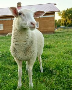 Beautiful baby Tammy, spared a life of neglect and now living happily with the Woodstock herd 💕🐑 - This sweet girl is looking for sponsors! Right now, for just $10 a month, sponsor her and your gift will be MATCHED with $100!! All which goes directly toward her shelter and care. Visit our website (woodstocksanctuary.org) to sponsor Tammy or make a gift in her honor. #whywoodstock