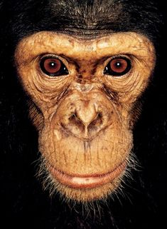 """Image from """"James & Other apes"""". A series of close-up portraits of the Great Apes by photographer James Mollison #animals #ape #chimpanzee"""