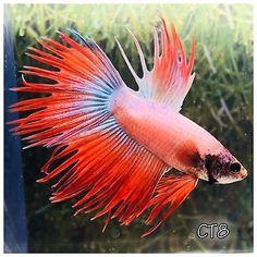 Orange-amp-Blue-Crowntail-Male-Live-Betta-Fish