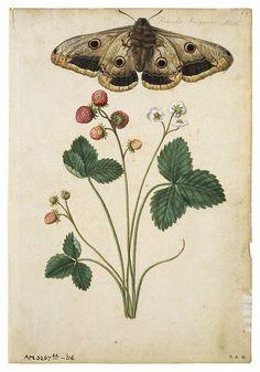 scientificillustration:  Wild Strawberry and Female Emperor Moth byJacques Le Moyne de Morgues