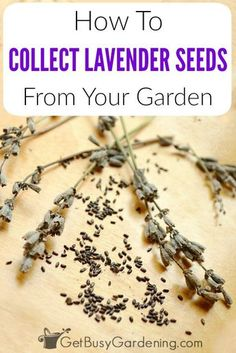 Its easy to collect lavender seeds and save them for planting next year or to share with friends Lavender plant seeds form inside the flower heads so allow some of the fl.