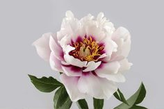 Study of a Peony Wall Mural, custom made to suit your wall size. Custom design service and express delivery available.