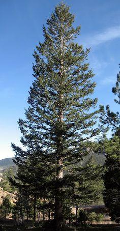 Rocky Mountain Bushcraft: Rocky Mountain Tree Identification: Douglas Fir Tree