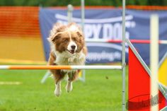 border collie agility The Loyal, Loyal Friends, Dog Agility, Border Collies, Four Legged, Dog Pictures, Puppy Love, Best Dogs, Corgi
