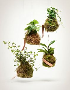 The Vining String Garden is our take on the Japanese Kokedama - a traditional form of bonsai in which tropical plants are transformed into living sculptural art pieces. Kokedama, simply translated, me Ikebana, Hydroponic Gardening, Container Gardening, Gardening Tips, Organic Gardening, Indoor Gardening, String Garden, Air Plants, Garden Plants