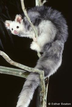 The greater glider (Petauroides volans) is a small gliding marsupial found in Australia. It is not closely related to the Petaurus group o. Unusual Animals, Most Beautiful Animals, Rare Animals, Animals And Pets, Cut Animals, Australia Animals, Wild Creatures, Bizarre, Fluffy Animals