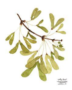 Alado Arce semillas botánicas giclee digital lámina reproducción acuarela