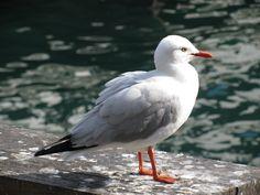 Seagull of Circular Quay, Sydney :-)
