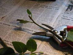 Rose: come moltiplicarle con le talee | Guida Giardino