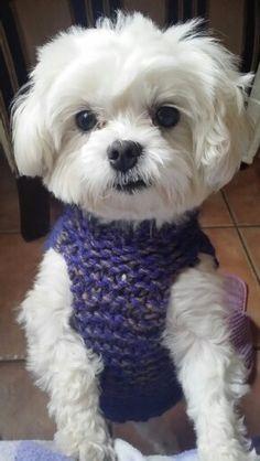 My Maltese Phoebe so cute in her jumper xxx