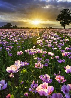 Image tags:sunset, the field, poppies, nature. Beautiful World, Beautiful Images, Beautiful Flowers, Stunning Photography, Nature Photography, Foto Poster, Tree Wallpaper, Beautiful Sunrise, Nature Scenes