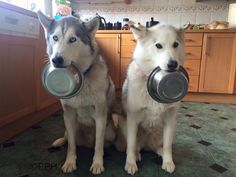 Hungry husky's (f: Karen Clifford) #dogs