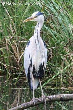 Heron, Birds, Nature, Wildlife, Photography, Mark Conway, Life Spirit