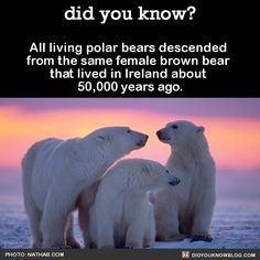 All living polar bears descended  from the same female brown bear  that lived in Ireland about  50,000 years ago.   Source