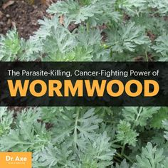 Wormwood - Dr. Axe http://www.draxe.com #health #holistic #natural