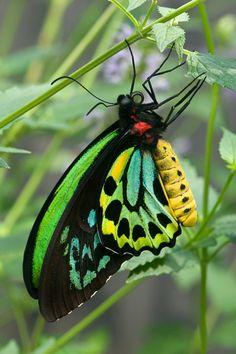✯ Cairns Birdwing Butterfly