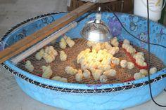 creating chicken brooder from kiddie pool - memories! Chicken Cages, Chicken Coup, Chicken Feeders, Chicken Pen, Chicken Chick, Backyard Chicken Coops, Chicken Coop Plans, Building A Chicken Coop, Diy Chicken Coop