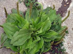 You've stepped on it, ignored it, and tried to eradicate it from your lawn. However, this innocuous little weed is one of the most useful medicines on the planet, just begging to be harvested. There are two major types of plantain in BC, Canada: Lance and Broadleaf. Generally, all 200-plus varieties of plantain yield [...]