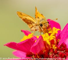 Hi There! A little skipper tastes the sweet nectar of a flower.