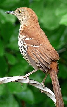 A pair of Brown Thrashers have been providing endless entertainment in the back yard! Babies soon? /HOW TO ATTRACT ME TO YOUR HABITAT: Plant Azalea Shrub (important during migration) or Wild Gooseberry Shrub. Plant Ageratum Flower or Cannas. For groundcover plant Hostas or Poly Poly Ferns. For trees plant Honey Locust or Cherry Eleganace. I like Cati fruit.  EXTRA TREATS: Cooked Pasta or Ants.