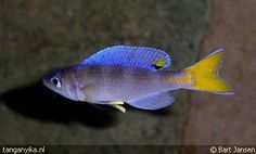 Tanganyika.nl - Cyprichromis leptosoma