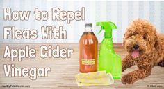 Apple Cider Vinegar For Fleas On Cats https://applecidervinegarguide.com/apple-cider-vinegar-for-fleas-on-cats/