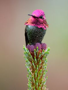 This gorgeous creature is a male Anna's Hummingbird (Calypte anna), taken in Vancouver, BC, Canada. Look at those colors! (photo: Michelle Lamberson)