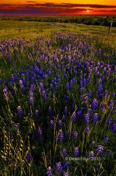 Sunset on Sugar Ridge Road, Bluebonnets in Ennis, Texas, United States