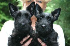 Adorable Scottie puppies!
