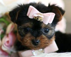 Jackie a Teacup Yorkie Puppy