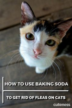 Kill fleas on your cat the natural way by using baking soda. Fleas On Kittens, Cat Fleas, Cats And Kittens, My Cat Has Fleas, Siamese Cats, Home Remedies For Fleas, Flea Remedies, Natural Remedies For Fleas, Cat Flea Remedy