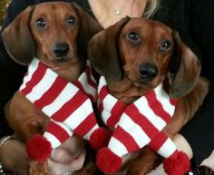 My furbabies, Pete and Re-Pete, would like to wish all of your furbabies a very Merry Christmas & a wienerful New Year!!! - photo via Teresa Miller Lakner --> I love Dachshunds fb page