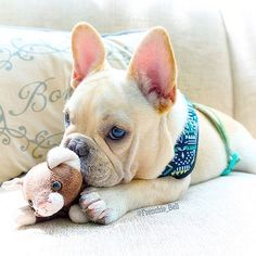 Content filed under the Dog Toys taxonomy. Cute French Bulldog, French Bulldog Puppies, French Bulldogs, Baby Bulldogs, English Bulldogs, Cute Puppies, Cute Dogs, Dogs And Puppies, Terrier Puppies