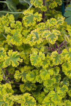 Scented Geranium Cy's Sunburst fragrant leaves | Plant & Flower Stock Photography: GardenPhotos.com