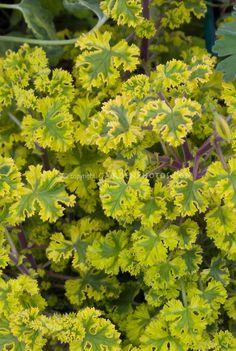 Scented Geranium Cy's Sunburst fragrant leaves | Plant & Flower Stock Photography: GardenPhotos.com