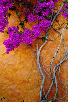 hungariansoul: Flowering Vine against Aged Plaster Wall ♥