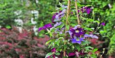 Splendor Of Clematis - MyGardenGates