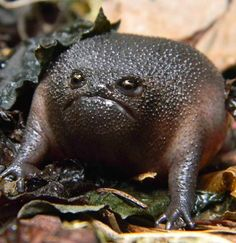 Black Rain Frog - Breviceps fuscus - Native to South Africa - Is the 'Grumpy Cat' of the frog community.