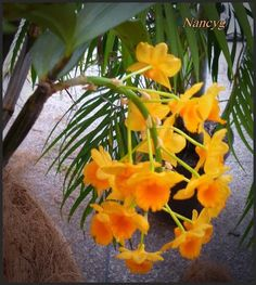 Dendrobium Orchids, Bella, Caracas, Growing Up, Exhibitions, Plants, Flowers, Opportunity, Rook
