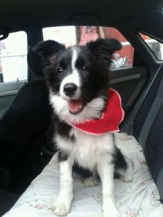 Lista para pasear Border Collie, Pictures Of Dogs, Dog Breeds, Border Collies