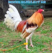 Image result for fighting chickens